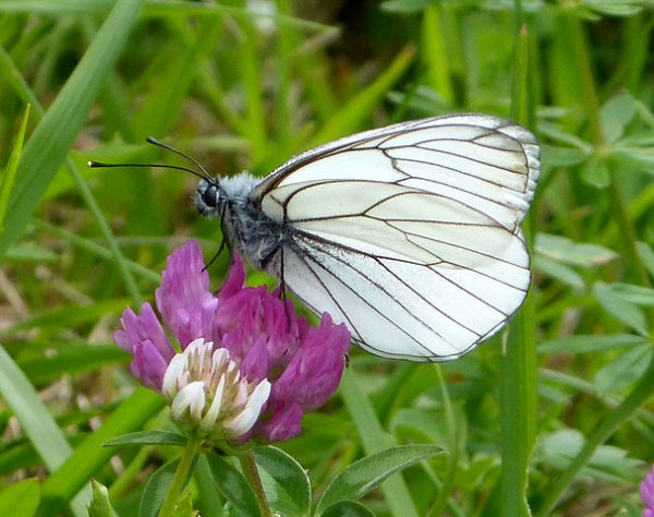 Black-veined_White